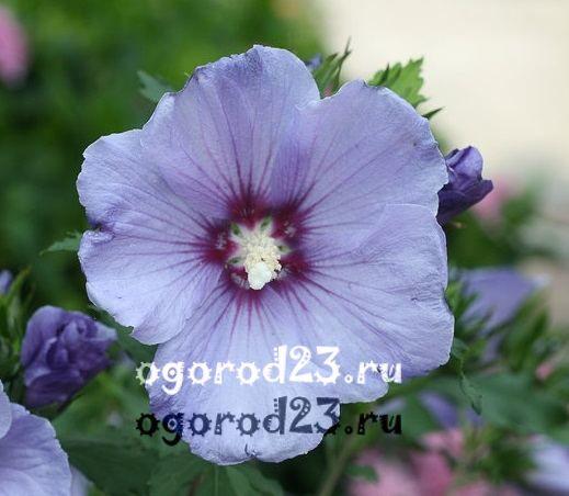 садовый гибискус уход и размножение 17