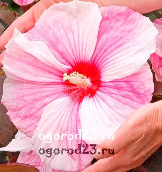 садовый гибискус уход и размножение 8