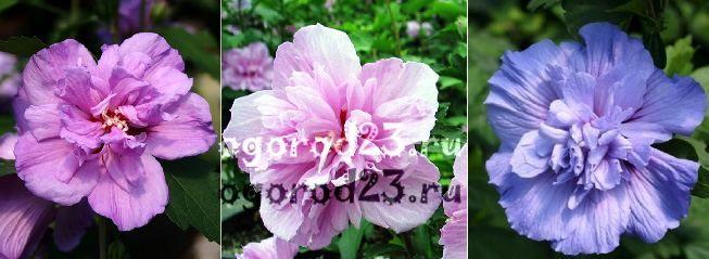 садовый гибискус уход и размножение 15