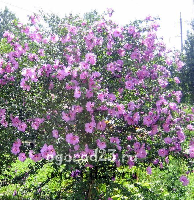 садовый гибискус уход и размножение 3
