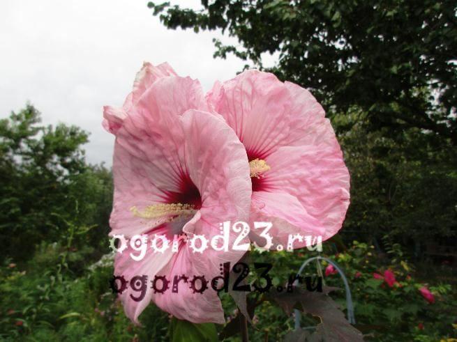 садовый гибискус уход и размножение 7
