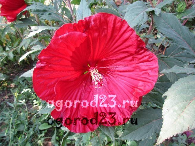 садовый гибискус уход и размножение 9