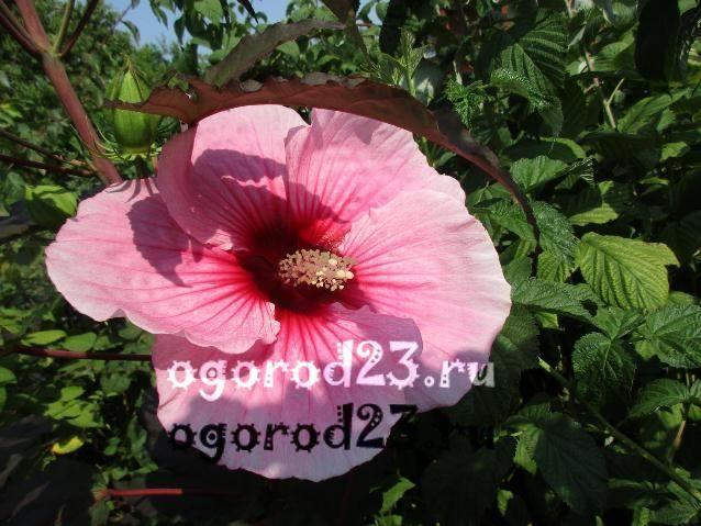 садовый гибискус уход и размножение 22