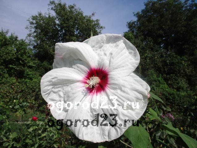 садовый гибискус уход и размножение 10