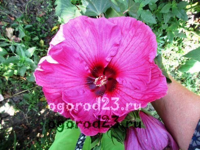 садовый гибискус уход и размножение 24
