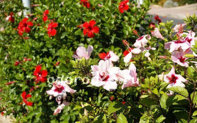 садовый гибискус уход и размножение 2