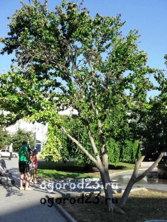 садовый гибискус уход и размножение 20