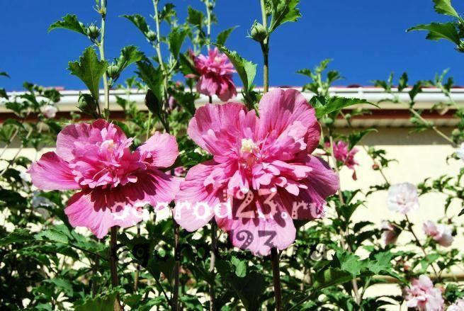 садовый гибискус уход и размножение 14
