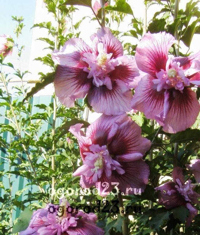 садовый гибискус уход и размножение 12