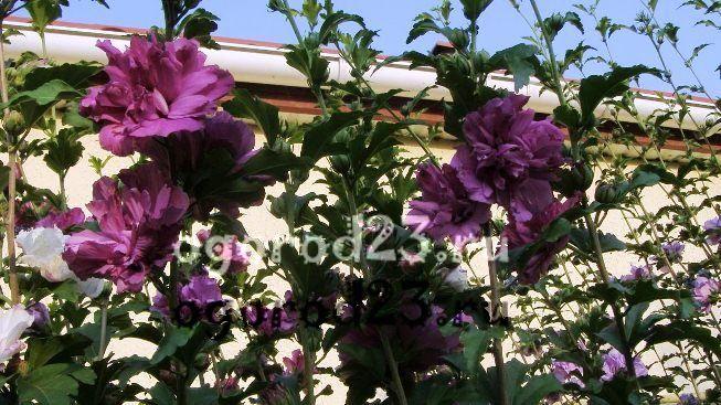 садовый гибискус уход и размножение 25