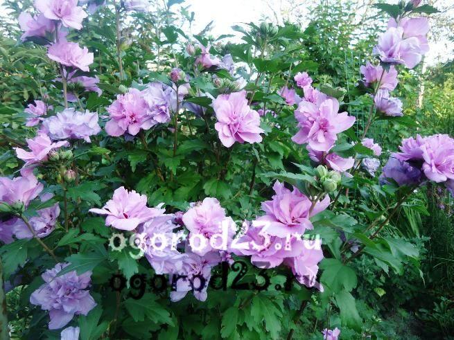 садовый гибискус уход и размножение 16