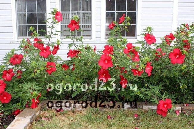 садовый гибискус уход и размножение 1