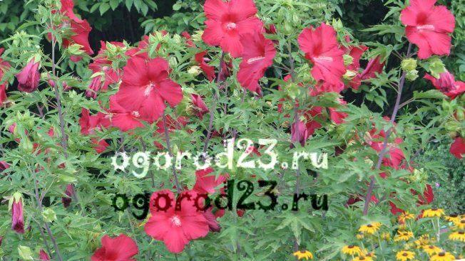 садовый гибискус уход и размножение 4