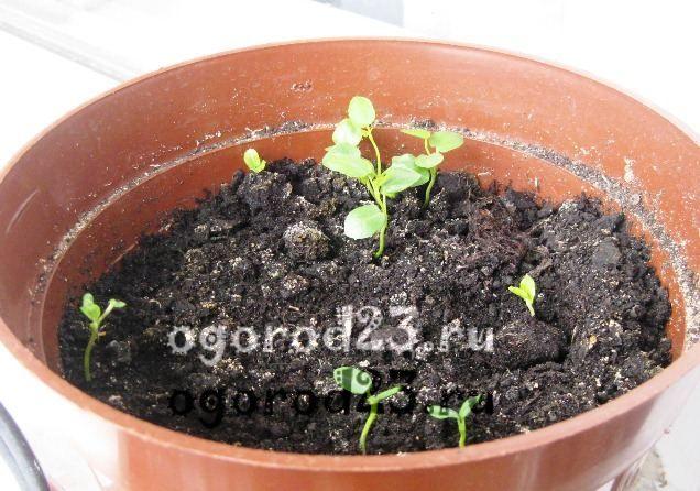 садовый гибискус уход и размножение 21