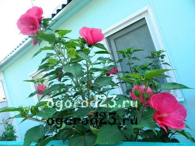 садовый гибискус уход и размножение 5