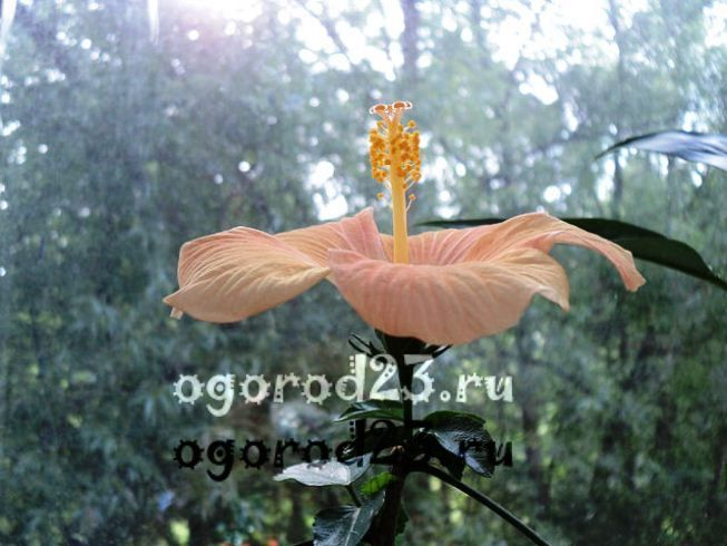 садовый гибискус уход и размножение 13