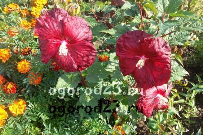 садовый гибискус уход и размножение