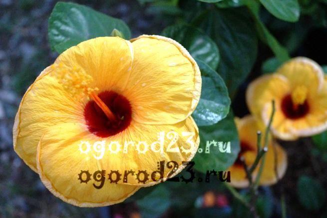 садовый гибискус уход и размножение 11