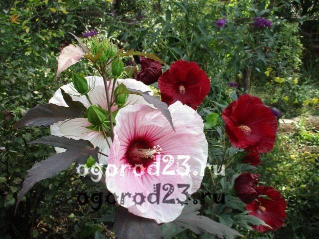 садовый гибискус уход и размножение 27