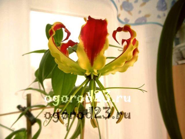 комнатные растения, которые нельзя держать дома – фото и названия 16