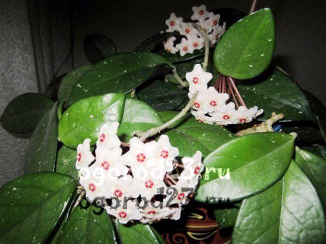 комнатные растения, которые нельзя держать дома – фото и названия 30