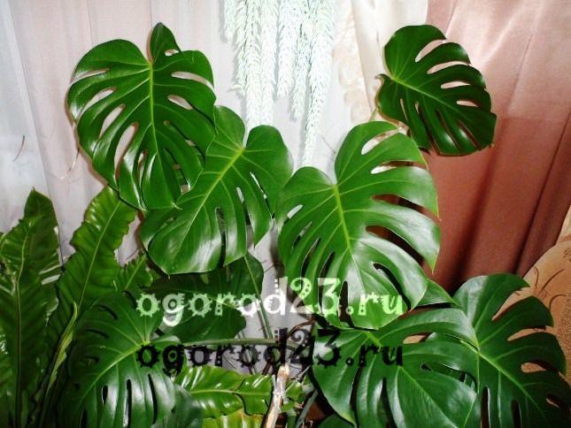 комнатные растения, которые нельзя держать дома – фото и названия 11