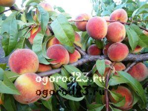 сорта персика в Краснодарском крае 100