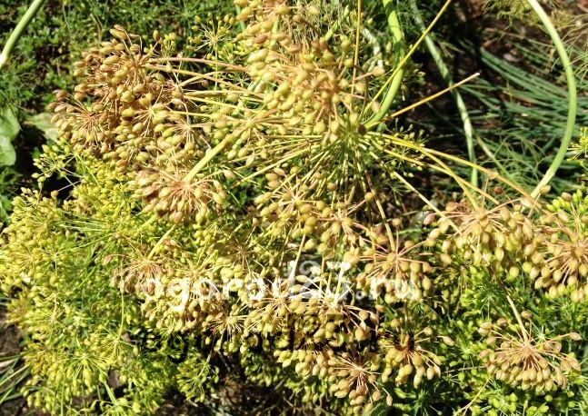 Семена укропа, лечебные свойства и противопоказания 3