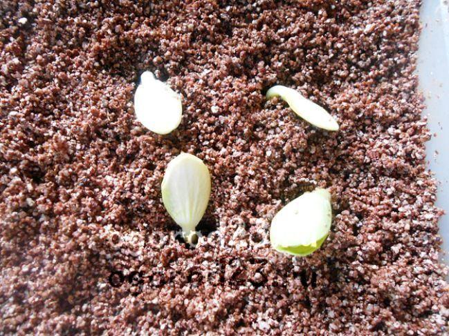 перлит для растений 6