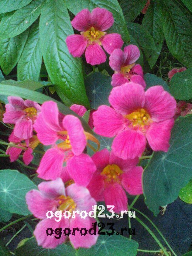 Однолетние цветы, цветущие все лето без рассады - название и фото 101