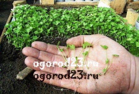 выращивание сельдерея 101