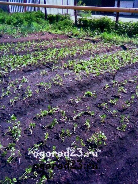 выращивание сельдерея 102