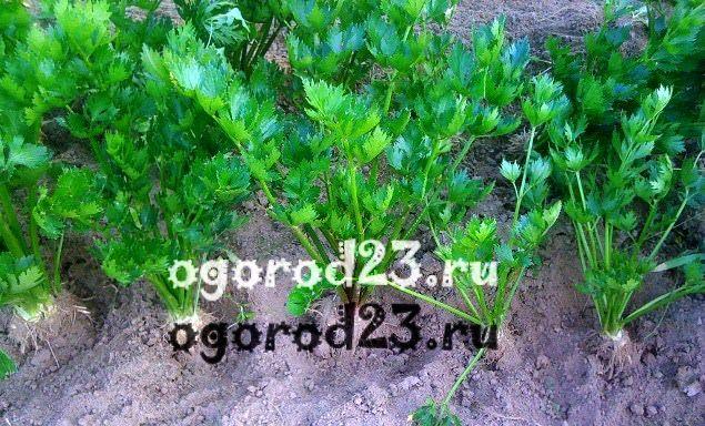 выращивание сельдерея 103