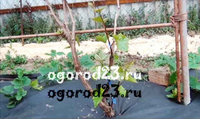 Обрезка винограда летом 1
