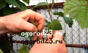 обрезка винограда летом 10