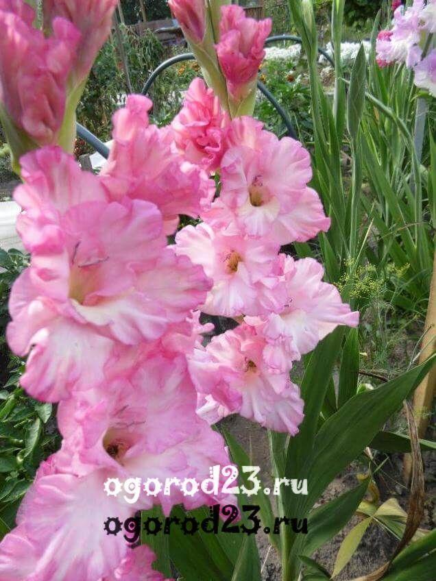 Как вырастить гладиолусы 22