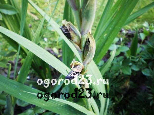 Как вырастить гладиолусы 17