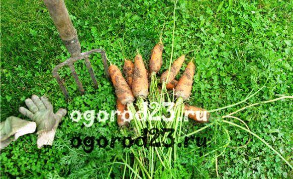 как лучше сажать морковь
