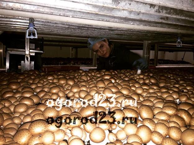 Технология выращивание грибов в домашних 138