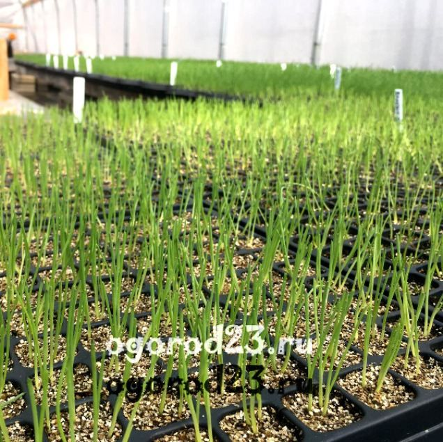 лук шалот выращивание 6