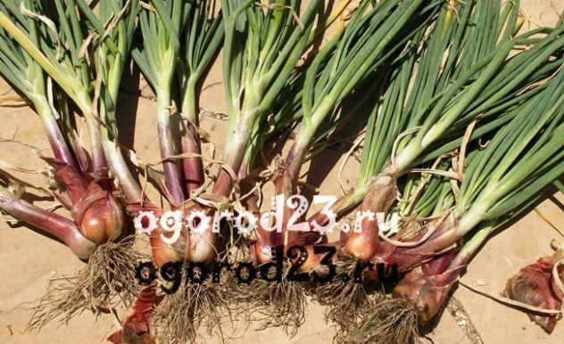 лук шалот выращивание 1
