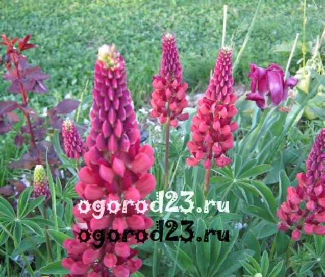 Люпины выращивание из семян когда сажать 21