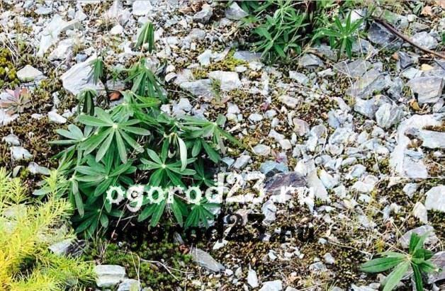 Люпины выращивание из семян когда сажать 9
