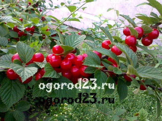 войлочная вишня, выращивание и уход 1