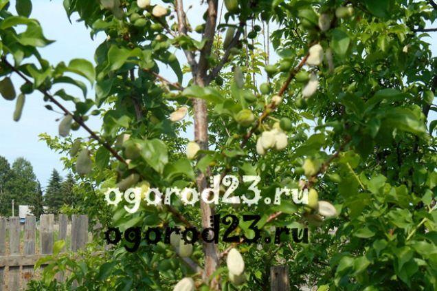 войлочная вишня, выращивание и уход 13