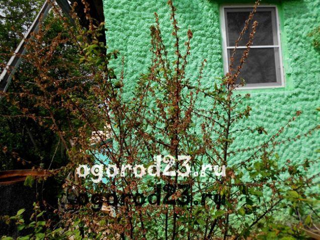 войлочная вишня, выращивание и уход 11