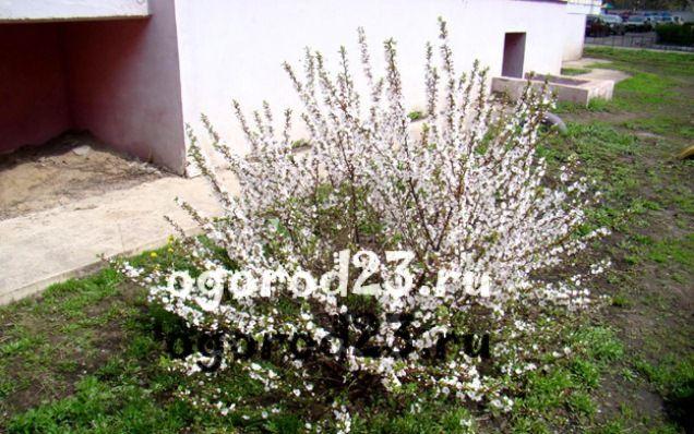 войлочная вишня, выращивание и уход 2