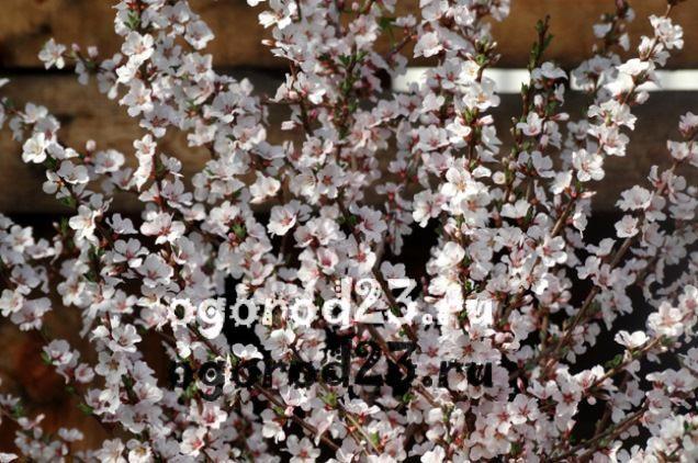 войлочная вишня, выращивание и уход 5