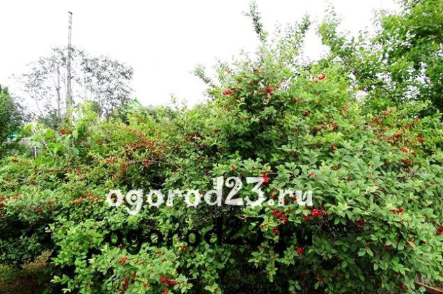 войлочная вишня, выращивание и уход 6