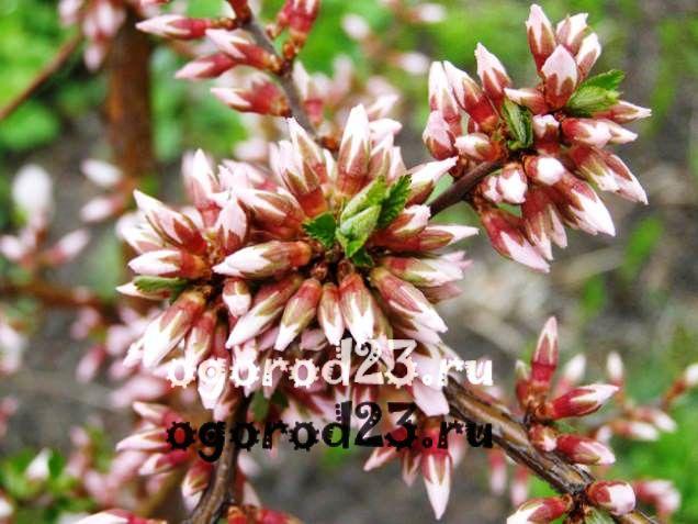 войлочная вишня, выращивание и уход 7